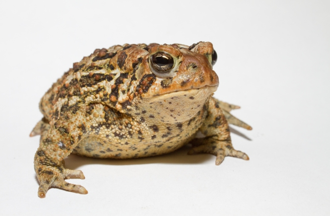 anaxyrus_americanus_-_american_toad